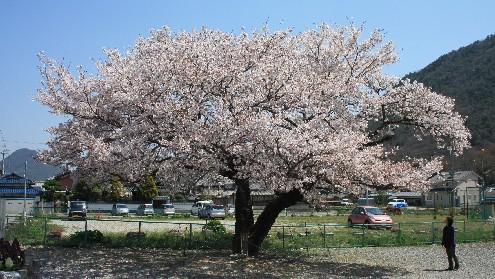 夫婦桜、樹齢100年寄り添って♪ (兵庫)_b0067283_16165968.jpg