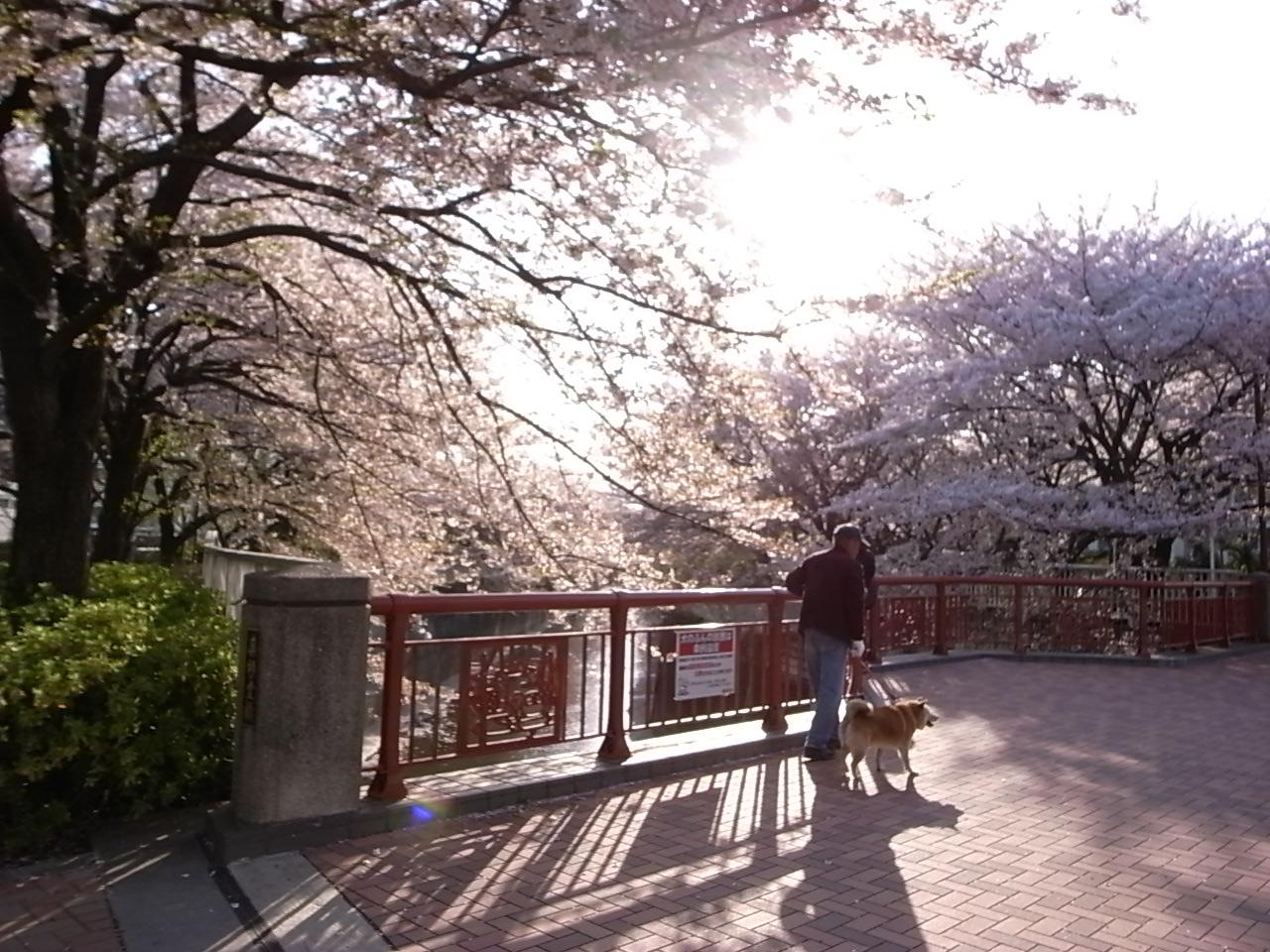 名残の桜_d0122797_2132134.jpg