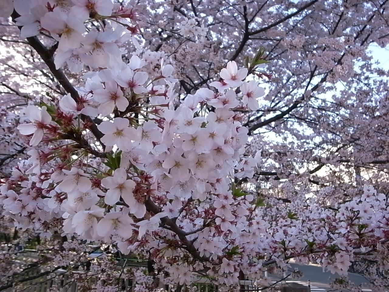名残の桜_d0122797_213851.jpg