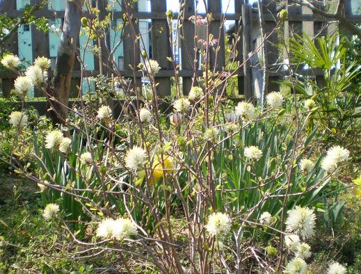 フォッサギラの花は春の光を纏う!_f0139333_8481616.jpg