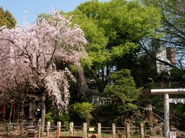 今朝の鳩の森神社_b0132442_16231013.jpg