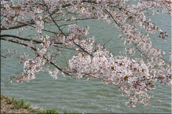 桜_d0173061_1532615.jpg