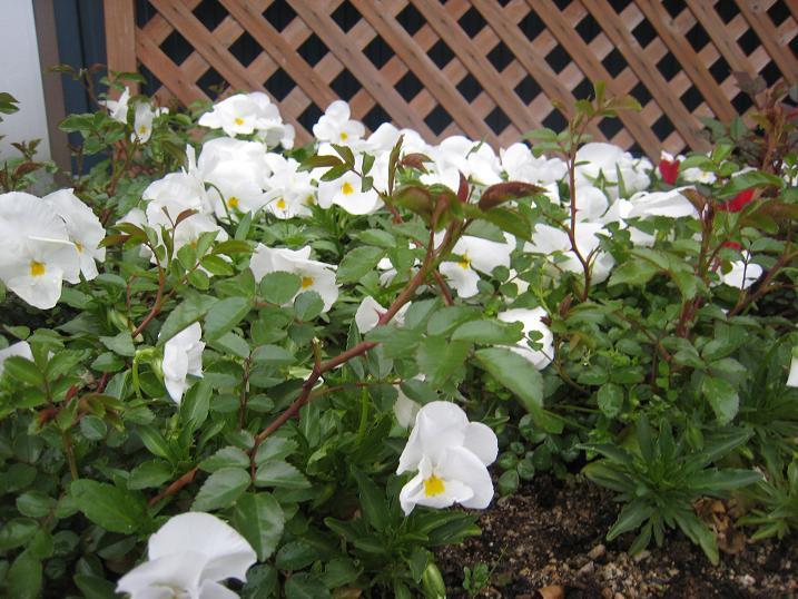 日の丸花壇_f0205367_1910526.jpg