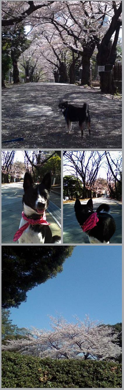 桜見納め。春うらら。_e0236072_0351190.jpg