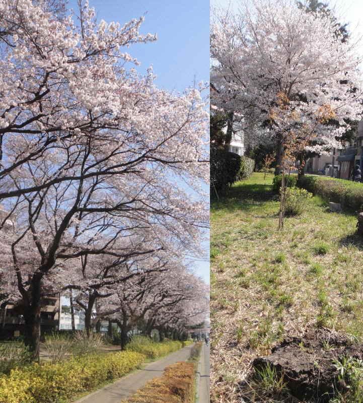 桜並木の維持_f0059673_19215037.jpg