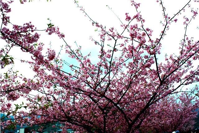 桜 静岡はすごいなぁ_a0079474_2235014.jpg