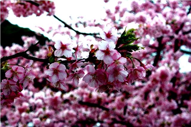 桜 静岡はすごいなぁ_a0079474_2235154.jpg