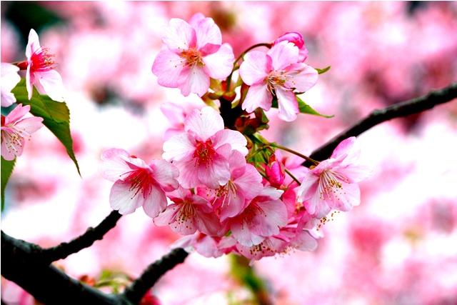桜 静岡はすごいなぁ_a0079474_22353981.jpg