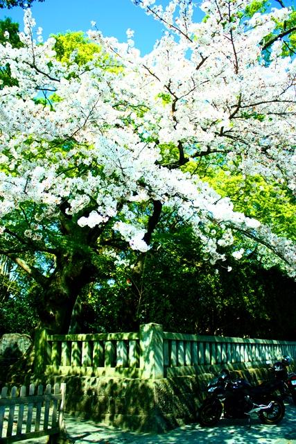 桜 静岡はすごいなぁ_a0079474_22402753.jpg