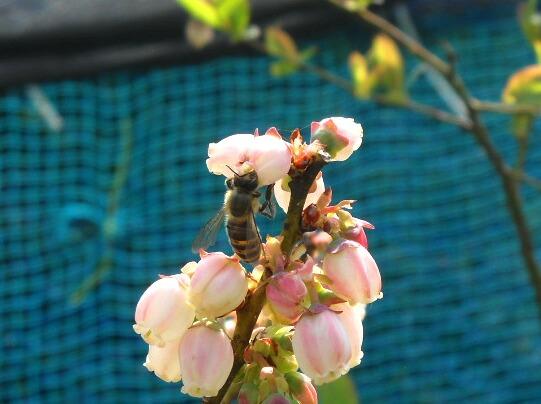 ブルーベリーにミツバチ到来_f0018078_19223251.jpg