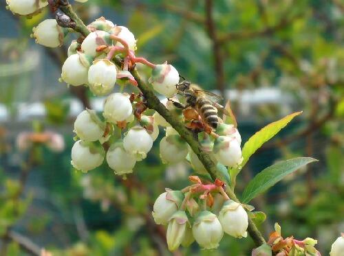 ブルーベリーにミツバチ到来_f0018078_1923825.jpg
