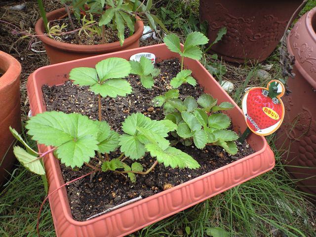イチゴを植えた_c0197684_17181755.jpg