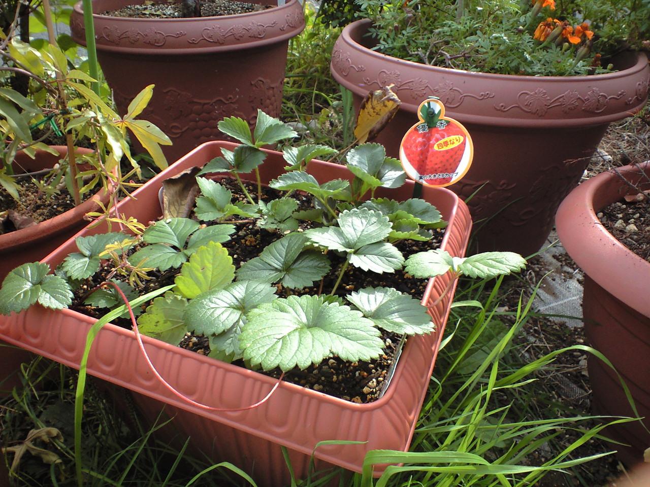 イチゴを植えた_c0197684_1719883.jpg