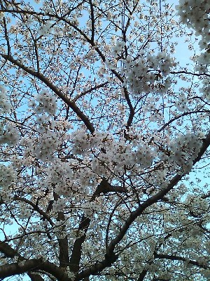 Sakura 2011_e0044536_12301879.jpg