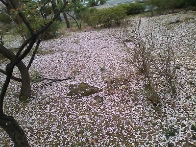 Sakura 2011_e0044536_12304833.jpg