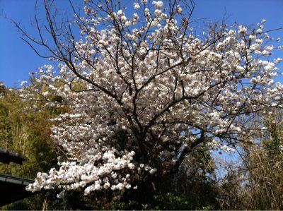 うちの桜_e0142956_1122262.jpg