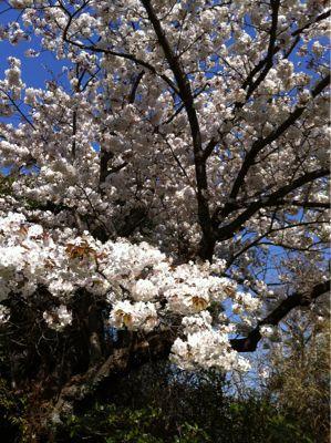 うちの桜_e0142956_1122279.jpg