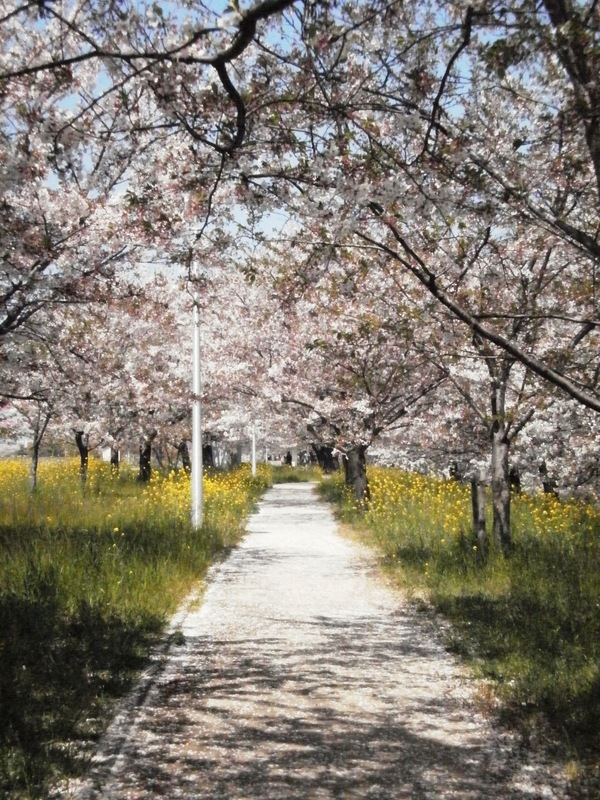 なごり桜^^_a0174458_9213845.jpg