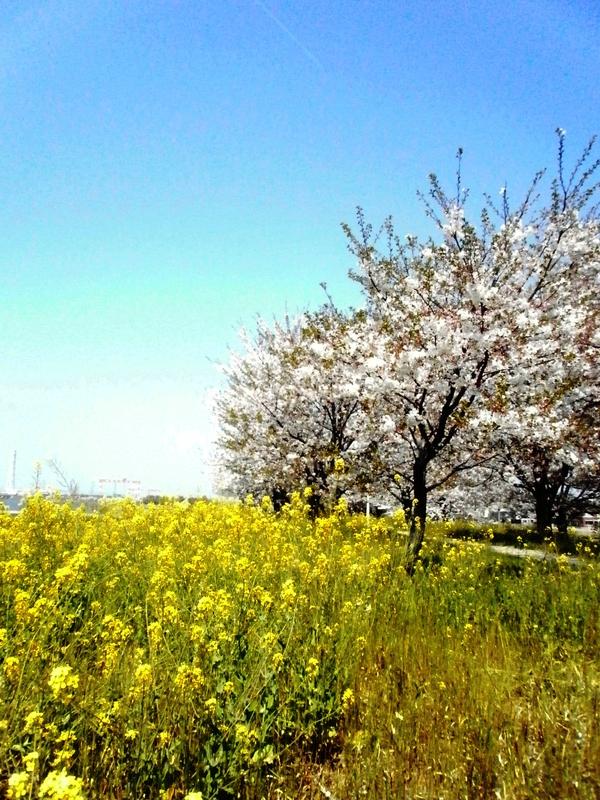 なごり桜^^_a0174458_9231316.jpg