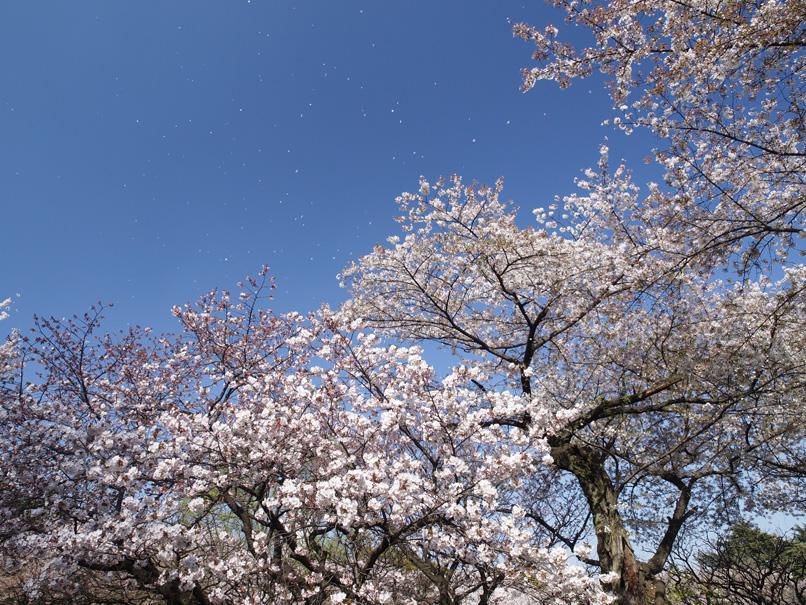 桜吹雪の新宿御苑_a0100959_22542624.jpg