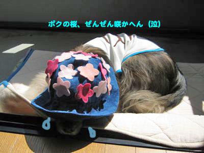 背中の桜_a0119263_211327.jpg