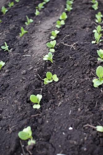 葉物苗の植え付け と小麦の話_c0110869_2183845.jpg
