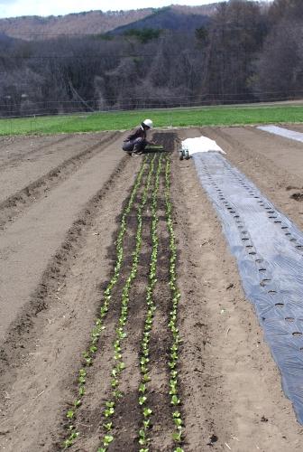 葉物苗の植え付け と小麦の話_c0110869_2185527.jpg