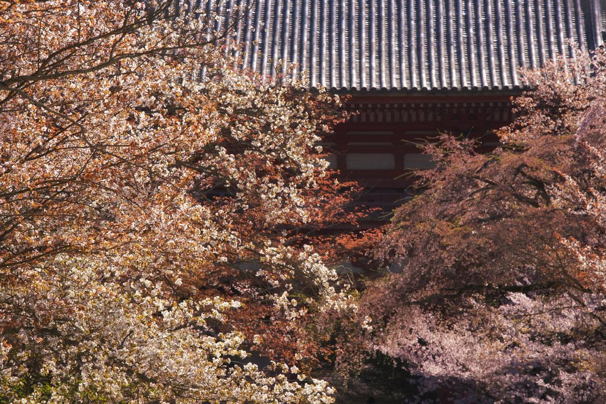 桜 2011 京都 <醍醐寺>_f0021869_0435479.jpg