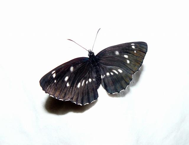 「フタスジチョウ」 黒色部発達型_d0019074_19155538.jpg