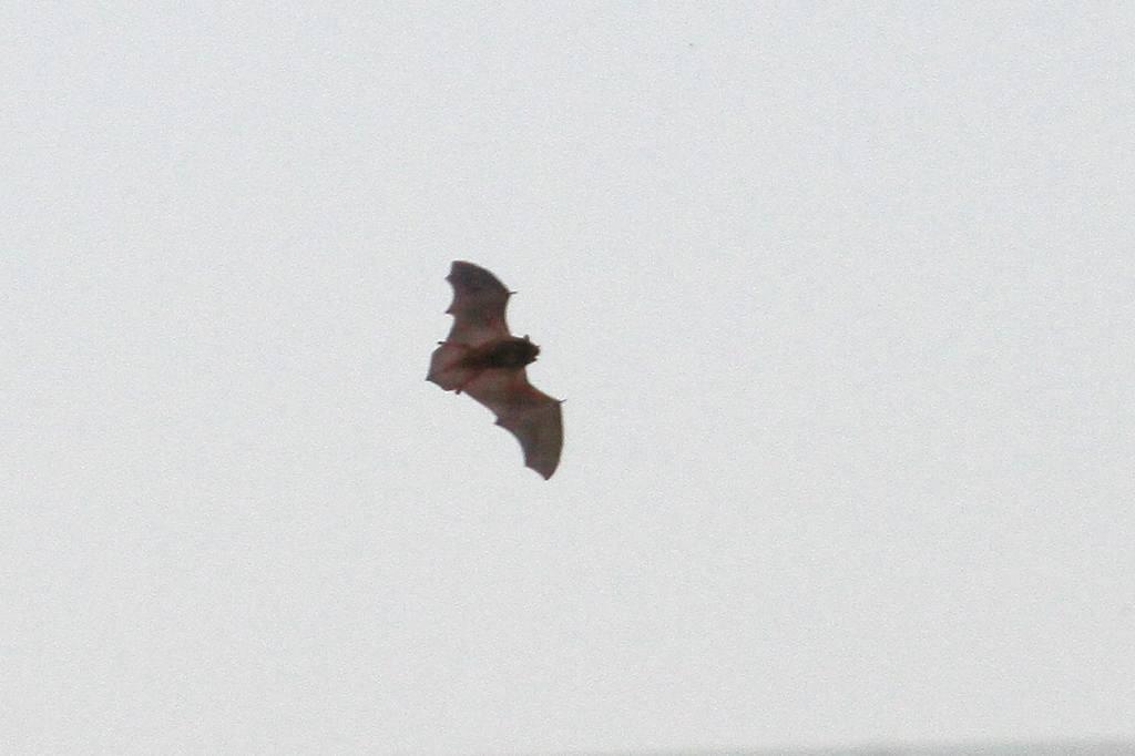 コウモリが飛び始めました/コガモの採餌(動画)_b0024798_8451230.jpg