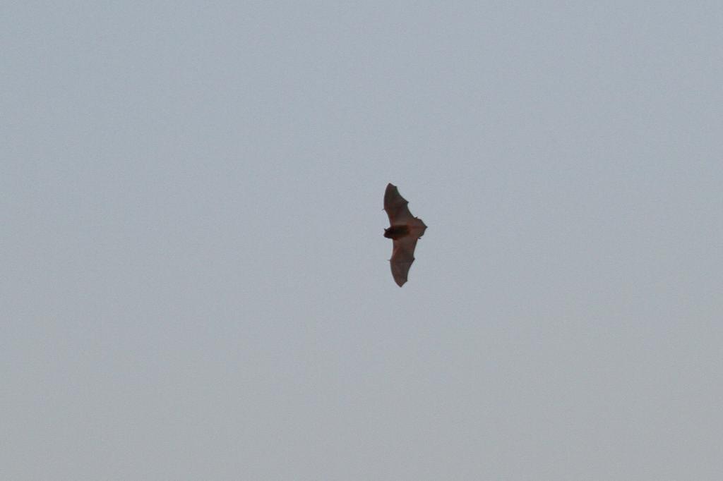 コウモリが飛び始めました/コガモの採餌(動画)_b0024798_8452112.jpg
