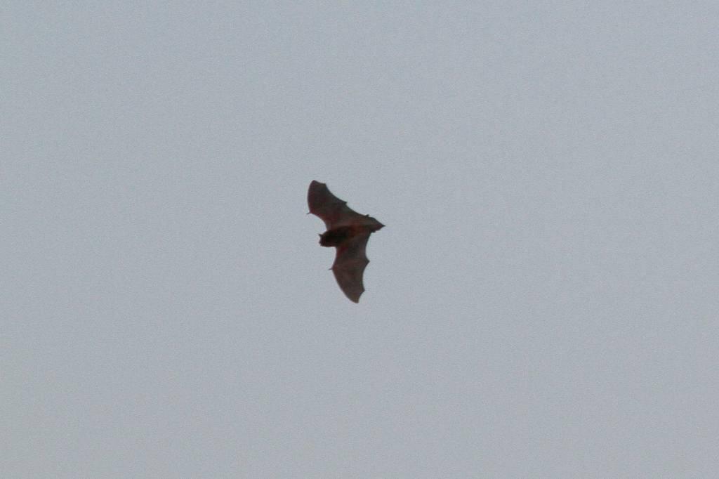 コウモリが飛び始めました/コガモの採餌(動画)_b0024798_8453072.jpg