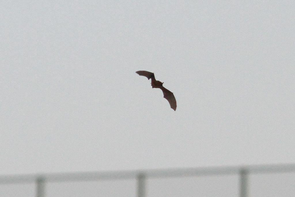 コウモリが飛び始めました/コガモの採餌(動画)_b0024798_8454154.jpg