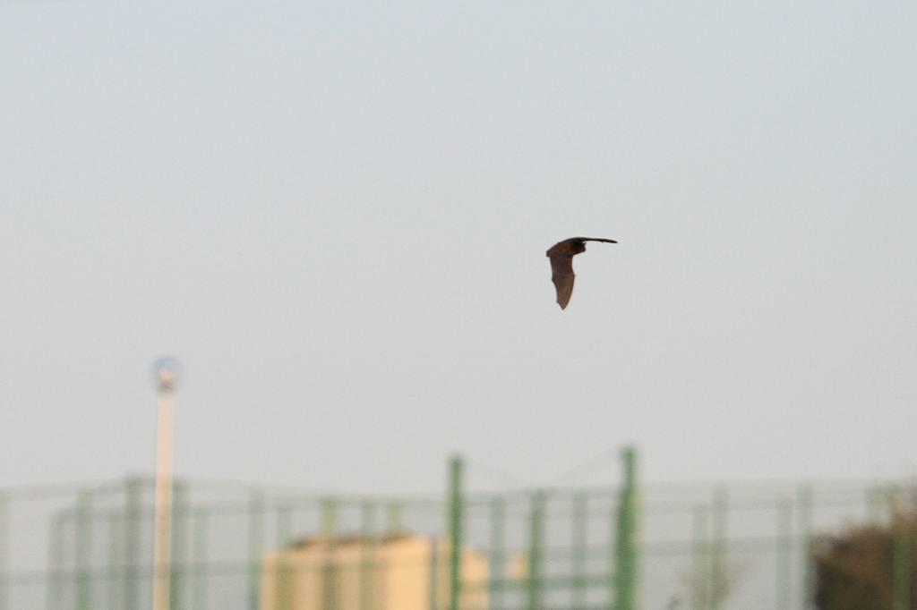 コウモリが飛び始めました/コガモの採餌(動画)_b0024798_859025.jpg
