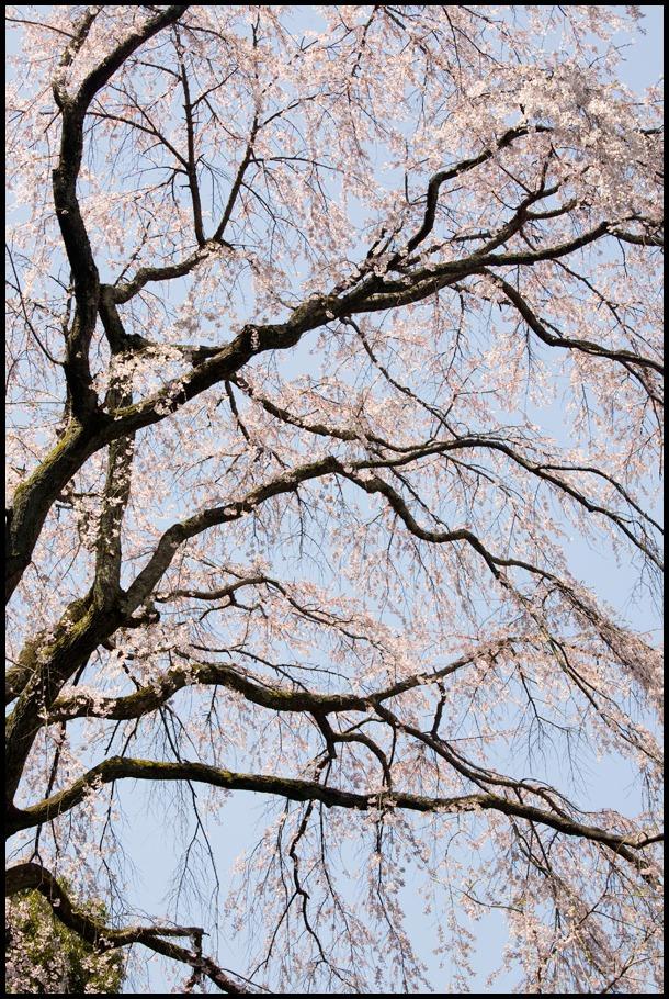 醍醐寺の桜2011 (3) _b0043304_185037.jpg