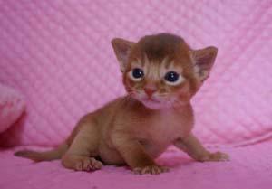 アビシニアン ルディ レッド 生後2週目子猫ちゃん キャラメル_e0033609_16211760.jpg