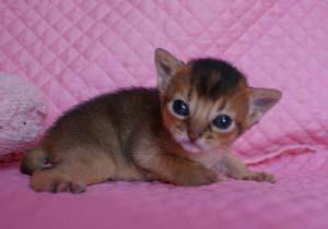 アビシニアン ルディ レッド 生後2週目子猫ちゃん キャラメル_e0033609_16215614.jpg