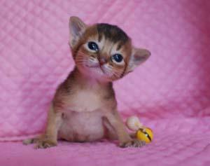 アビシニアン ルディ レッド 生後2週目子猫ちゃん キャラメル_e0033609_16224399.jpg