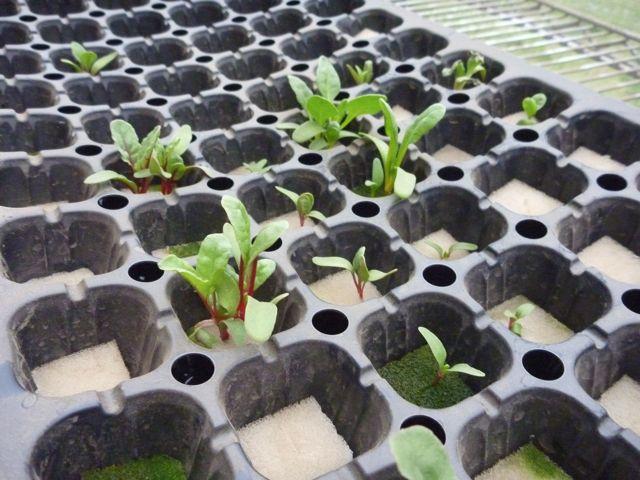 水耕栽培の状況について_b0054727_18304736.jpg