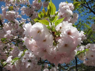 桜 さくら_d0010432_16425155.jpg