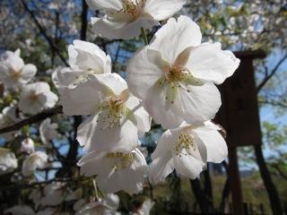 桜 さくら_d0010432_16431659.jpg