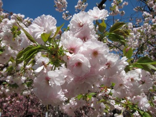 桜 さくら_d0010432_16432992.jpg