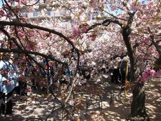桜 さくら_d0010432_1643476.jpg