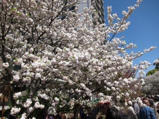 桜 さくら_d0010432_16435352.jpg