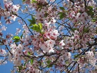 桜 さくら_d0010432_16442167.jpg