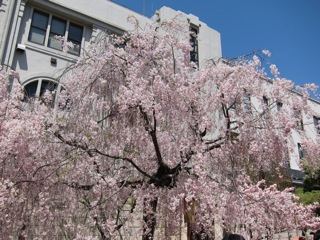 桜 さくら_d0010432_16443514.jpg