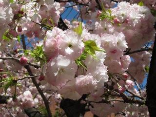 桜 さくら_d0010432_1644617.jpg