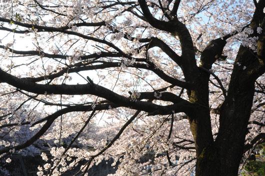 伏見川の桜(4)_c0093046_1883263.jpg