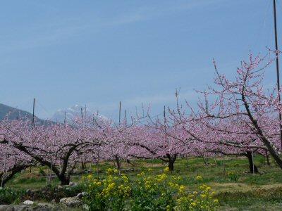 新府の桃は満開です♪_f0019247_23493559.jpg