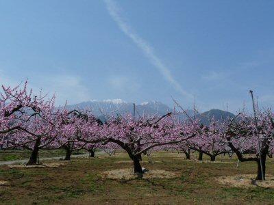 新府の桃は満開です♪_f0019247_23502337.jpg